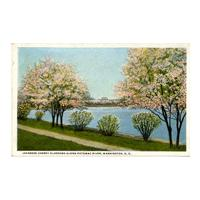 Image: Japanese Cherry Blossoms Along Potomac River, Washington, D. C.